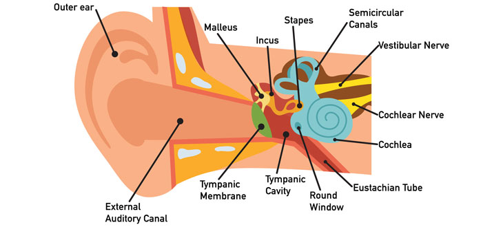 can ear infections cause hearing loss? anatomical diagram of swimmers ear ear anatomy diagram \u201c